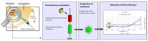 schéma endocrine disruptors